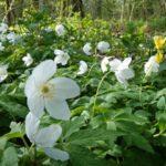 Wild wood anemones - Combe Woods